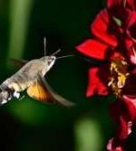 Moth gathering polen
